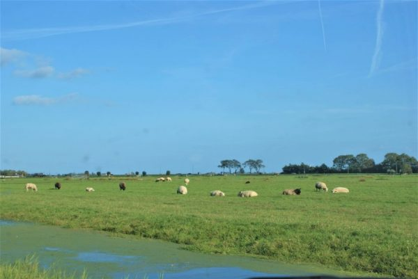 Polder landscape near Broek in Waterland. Blue sky, sheep in the medow